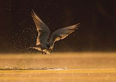 The River tern. Hunting at sunrise royalty free stock photography