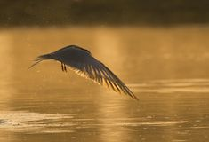 The River tern Royalty Free Stock Photos
