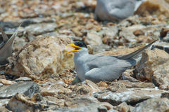 River tern nursing its egg. Canon 6D 550mm ISO 600 1/2500 f4.0 Stock Photography