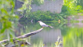 River tern sits on branch stock video footage