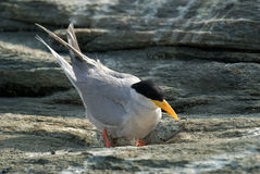 River tern sitting on eggs Royalty Free Stock Photography