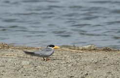 River tern Stock Photography