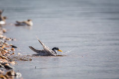 River tern taking a dip Stock Photography