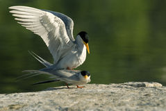 River terns- adults pairing Stock Photos