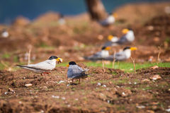 River terns at a breeding site Royalty Free Stock Photo