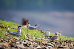 River terns calling Royalty Free Stock Images