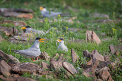 River terns exchanging fish Royalty Free Stock Photography