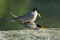 River terns pairing Royalty Free Stock Images