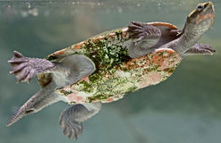 River terrapin 1 Royalty Free Stock Photo