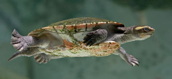 River terrapin 2 Stock Photography