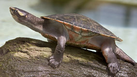 River terrapin 3 Royalty Free Stock Images