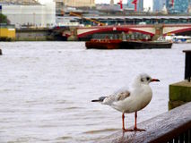 River Thames. A Gull on the wall of the Thames Southbank Stock Photography