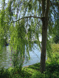 River Thames through weeping willow Royalty Free Stock Photos