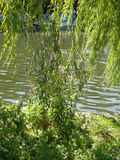 River Thames through weeping willow. On sunny day in Reading, Berkshire, England stock photo