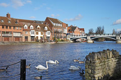 The River Thames at Windsor. The River Thames in Royal Windsor in England in Winter Sunshine with Bridge and Swans on the water Stock Image
