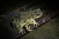 River Toad Stock Photography