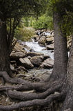 A River and Trees in the mountains with roots on on top of ground Royalty Free Stock Photo