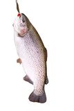 River trout fish with bait Stock Photos