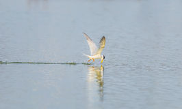 The River Turn (Sterna Aurantia) flying Stock Photography