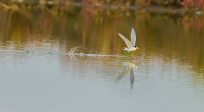 The River Turn (Sterna Aurantia) flying Stock Photos