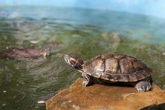 River turtle Stock Photo