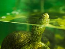 river turtle in an aquarium royalty free stock image