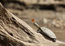 River Turtle and Butterfly. A River Turtle basking on a log in the Madre de Dios river receives the visit of a butterfly Stock Images