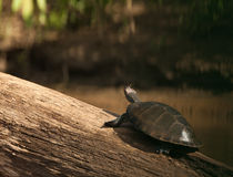 River Turtle and Butterfly: two friends Royalty Free Stock Photos