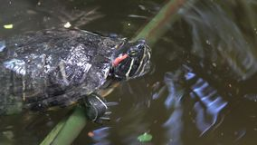 River turtle closeup stock footage