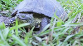 River turtle. Crawling on camera river turtle in grass stock video