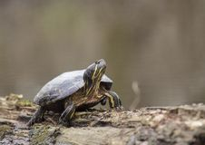 Free River Turtle In Louisiana Royalty Free Stock Image - 109939616
