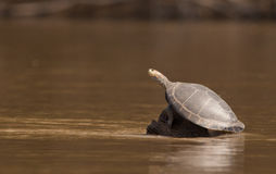 River turtle at the Madre de Dios river, Peru. A river turtle uses a submerged log to bask in the sun, always alert to any danger Stock Image