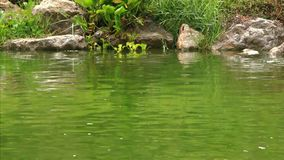 River Turtle swimming in pond at rainy time. HD. stock video footage