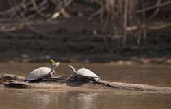 River Turtles and Butterfly Royalty Free Stock Images
