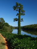 River view. A view of the Catawba River with a tree covered by Kudzu Royalty Free Stock Image