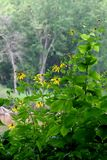 River View. Coneflowers and butterflies along the Wisconsin River shoreline Royalty Free Stock Photography