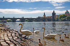 River Vltava with Charles Bridge, swans and ducks in Prague Royalty Free Stock Image