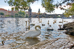 River Vltava with Charles Bridge and swans in Prague Stock Photos