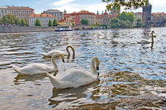 River Vltava with Charles Bridge and swans in Prague Stock Photography