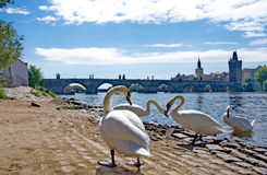 River Vltava with Charles Bridge and swans in Prague Stock Photo