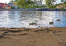 River Vltava and swans in Prague Stock Images