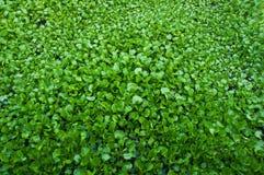 River water hyacinth. Stock Photo