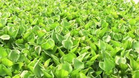 River water hyacinth Stock Photo