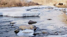 River in the winter. The thick winter ice on the river, but the river is still flowing, cattle in the river walk stock video footage