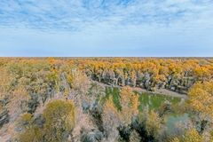 Yellow populus euphratica forest in autumn. River through yellow populus euphratica forest in autumn Stock Images