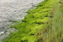Riverbank mit Algen und Wasservegetation Lizenzfreie Stockbilder