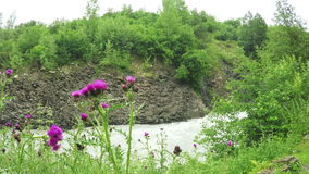 On riverbank Thistle stock footage