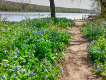 Riverbend Park Walking Trail Virginia Bluebells Royalty Free Stock Images