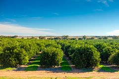 Riverland citrus orchard on a day. In South Australian region stock image