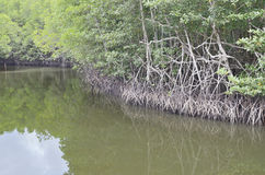 Riverside mangrove Royalty Free Stock Photo